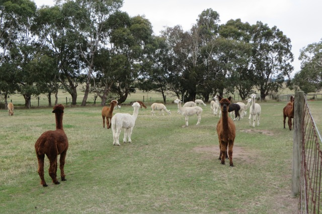 A field of alpacas