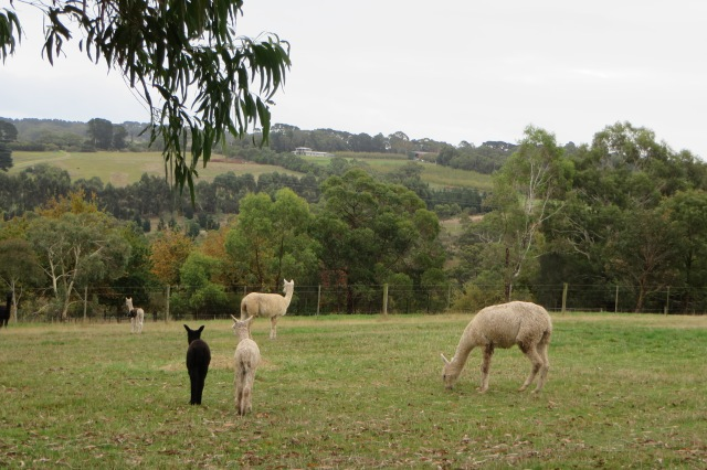 Huacaya alpacas at Pitchingga Ridge