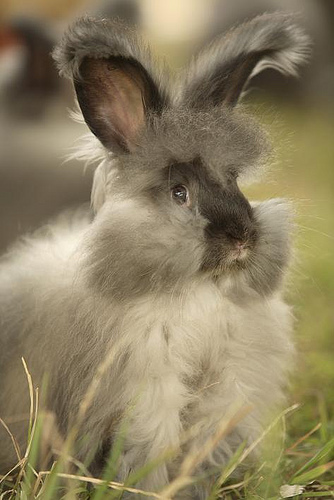 A smoke grey English angora.