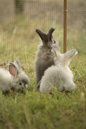 Angora rabbits in a day enclosure.