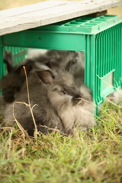 Angora rabbits cuddling