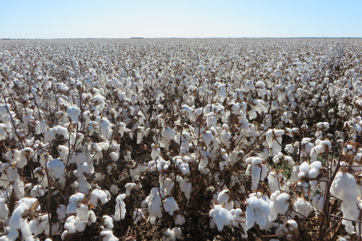 Kilter Rural's cotton field