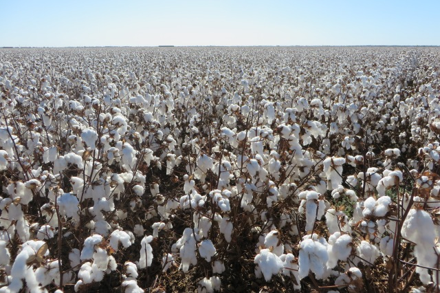 Kilter Rural's cotton field