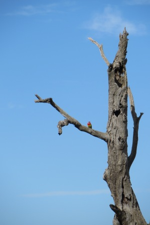 Rosella perched on a dead tree