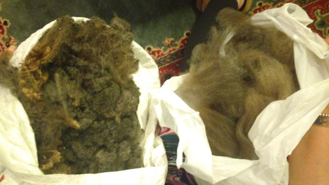 Corriedale wool from raw fleece to carded.